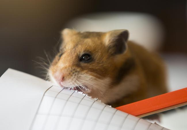 Keep your distance, Malcolm! Even hamsters are being taught the importance of social distancing, according to our correspondent