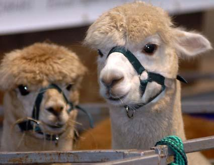 The Yorkshire Alpaca Group staged its first Yorkshire show at Thirsk business park.