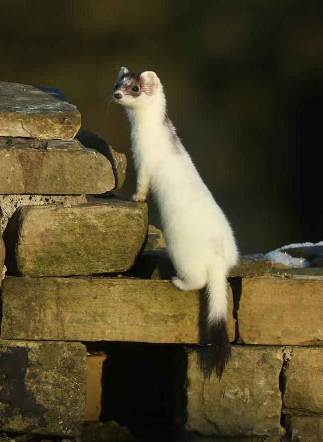 A white stoat which were once a common sight in the Yorkshire Wolds