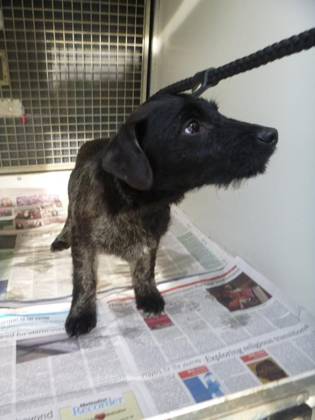 A five-month-old terrier which had been mistreated by a group of teenagers. Picture: RSPCA