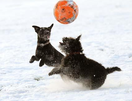 Dogs Megan and Tinker enjoy a knockabout in the snow on Knavesmire.