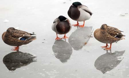Mallard ducks try to keep warm on the iced-over lake at the University of York.
