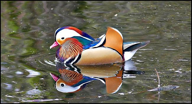 Mandarin duck at Thornton-le-Dale by Kevin Meek