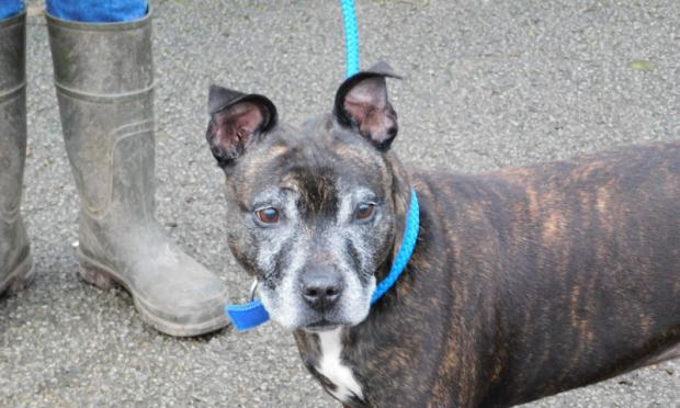 York Press: Could you welcome this Staffy into your home (Photo: RSPCA)