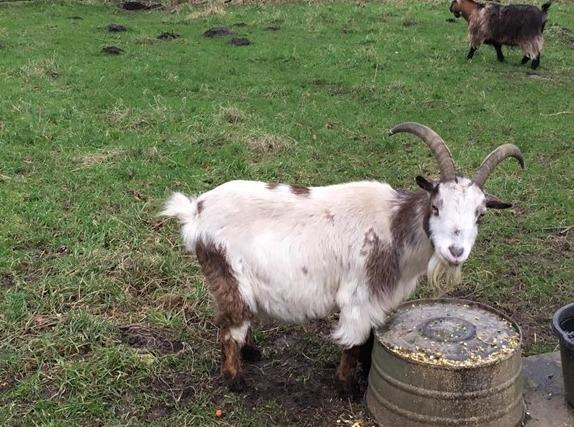 Sewerby Hall and Gardens has given a new home to Sammy the goat