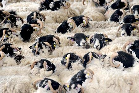 Sheep waiting to be sheared at the Great Yorkshire Show