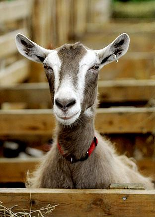 A goat at the Great Yorkshire Show. Picture: Eliza Mallender