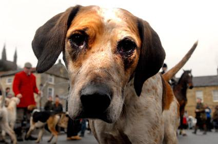 A Sinnington Hunt hound takes a close look at the camera in Helmsley Market Place.