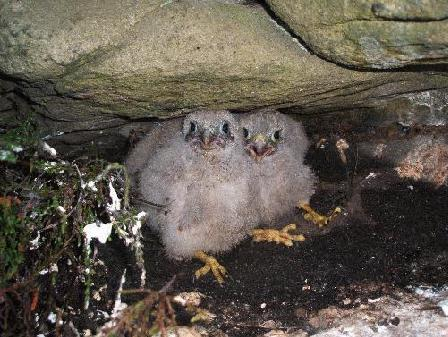 Kestrel Chicks at Eastby