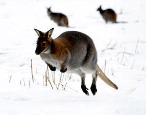 A wallaby jumps through snow at Monk Park Farm near Thirsk