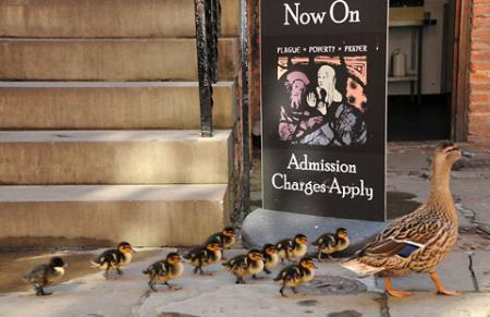 Dizzy the duck and her adorable brood spotted in the courtyard of the Merchant Adventurer's Hall in York.