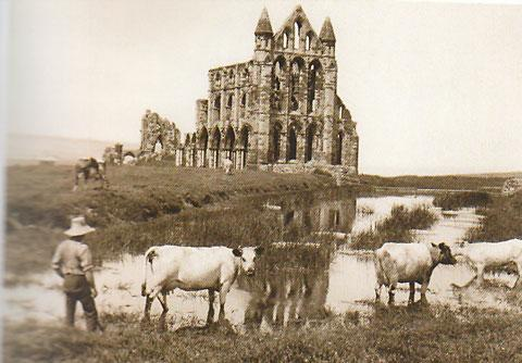 Cattle roam around the East Front of the abbey after it became derelict