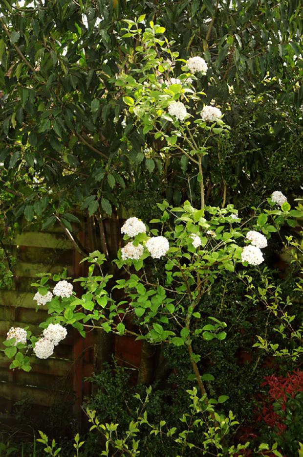 Viburnum in bloom                                                      Picture: David Harrison
