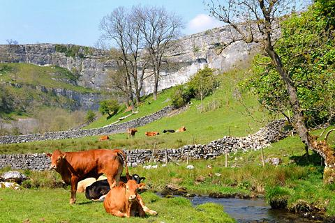 The ancient backdrop of Malham Cove with cattle grazing Picture: Anthony Chappel-Ross