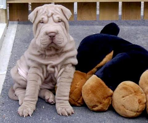 Minnie the ten-week-old shar pei