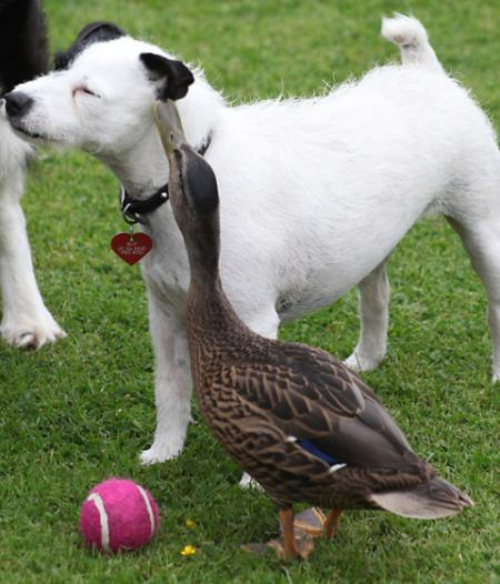 A mallard which has become attached to pet terrier, Skip, at Selby Wildlife Rehabilitation Centre.