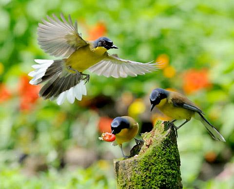 Blue-crowned laughing thrushes