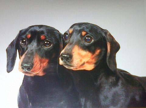 Miniature Dachshunds, Roxie, aged two, and Queenie, aged six