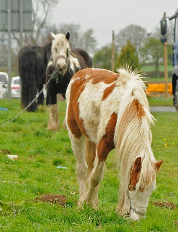 Horses  tethered at  the side of  the York to Stamford Bridge road in April