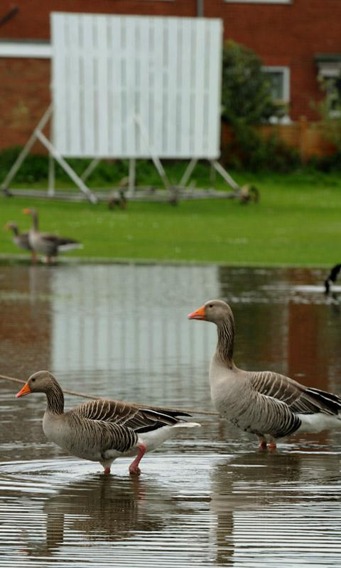 Geese take to Heworth Cricket Club's under-water strip