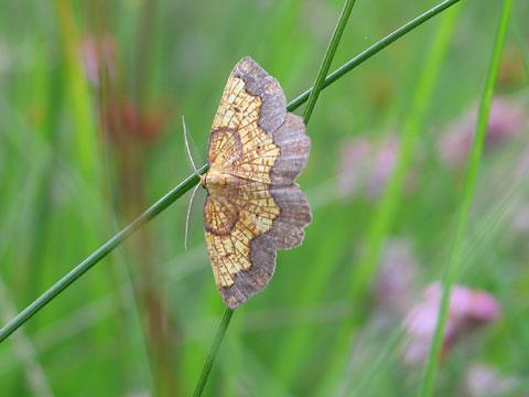 he Dark Bordered Beauty moth whose habitat is been restored at Strensall Common