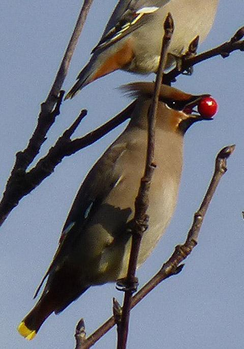 Picture of Waxwings taken by Woodthorpe resident and keen birdwatcher Sue Gabbatiss