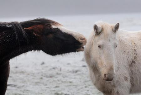 Two horses nuzzle each other in a frozen field near the Moorlands Nature Resevere, near Skelton.