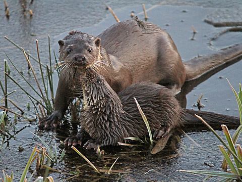 This photograph of a mothe and one of her cubs was taken at the Tophill Low site by nature reserve regular Roy Vincent