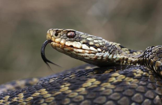 The man was bitten three times by an adder (stock picture)