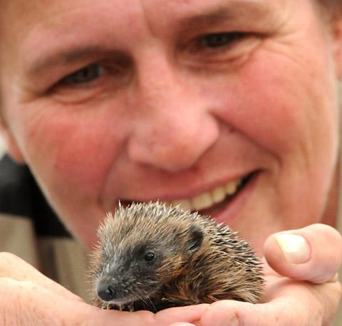 Wendy Aitken, with one of the hedgehogs she looks after in Osbaldwick