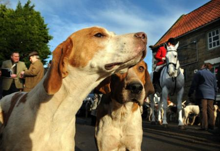 Foxhounds sniff the air as the Derwent Hunt arrives at The Hall, in Thornton-le-Dale on New Year's Day.
