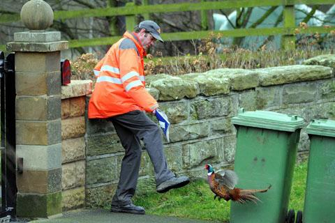 Unpleasant pheasant picks on postman
