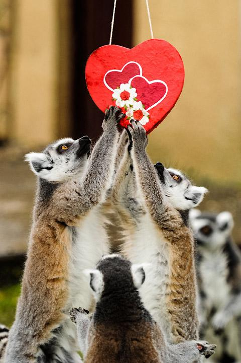 Ring-tailed lemurs get romantic with a Valentines Day treat hidden in a heart-shaped box at Flamingo Land