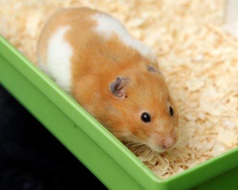 York Press: 'Tink' the born again hamster. Picture: SWNS