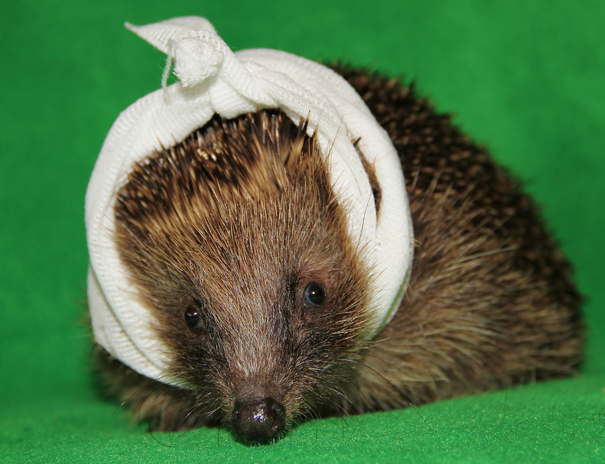 Wildlife charity appeals for help to support influx of baby hedgehogs