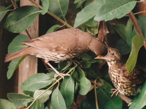 York Press: A thrush feeds its young, one of Paul Baker's favourite pictures