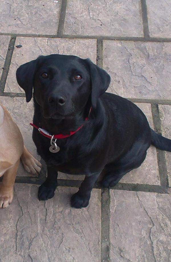 The missing labrador