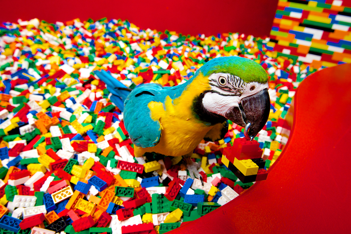 Charlie the gold and blue macaw, who has won the title of parrot in residence at Legoland, Windsor.