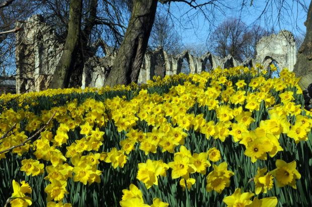 The early spring and warm weather has brought a bonus for visitors to York in the form of a wonderful display of daffodils in the city's Museum Gardens
