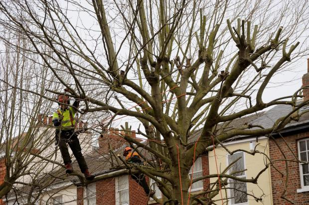 HIGHLY SKILLED: Tree lopping in Parliament Street, York