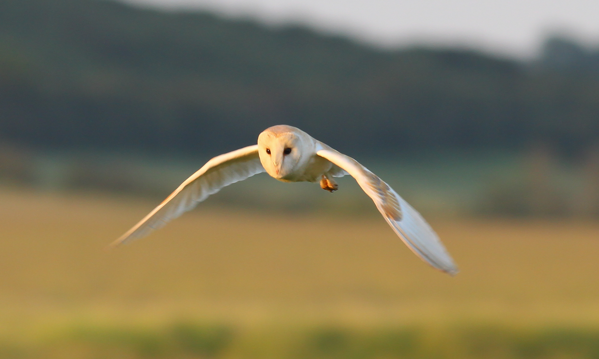 Fears raised for barn owls of Yorkshire