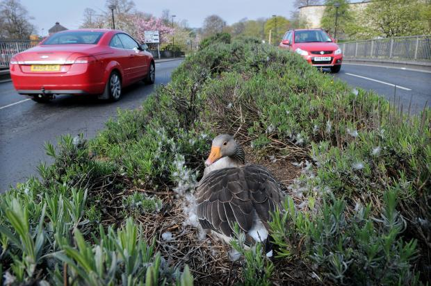 This mother goose has nested in the middle of a busy road, prompting concern from drivers