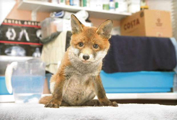 The fox cub which was found by workers at SSI in Redcar and is now being cared for at the Wildlife Haven at Thirsk. Picture: Richard Doughty