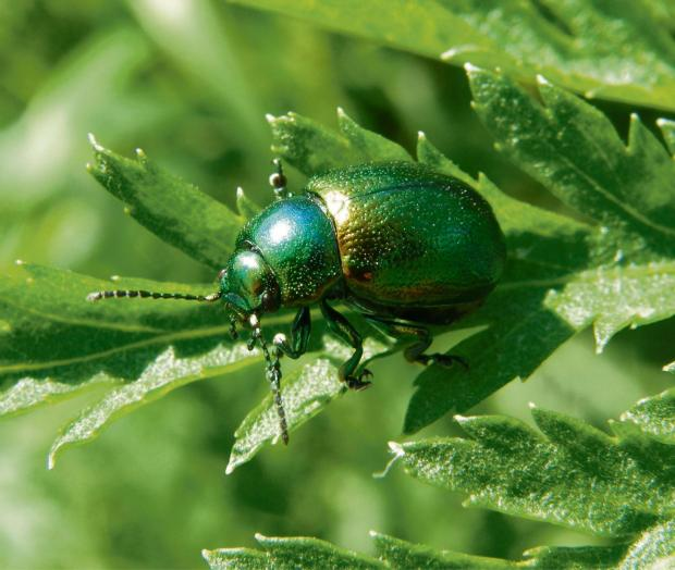 Flood meadows are the last UK stronghold for the tansy beetle and are confirmed as a Site of Special Scientific Interest.