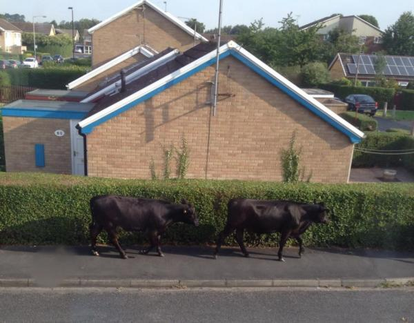 Cows on the moo-ve cause chaos. Sent in by Sue Hayes