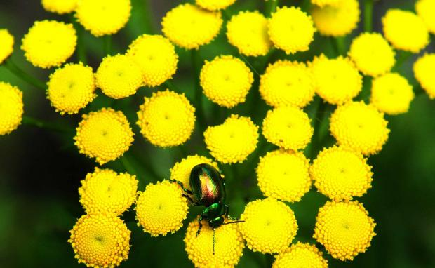 Tansy Beetles have been limited to a single stretch of the banks of the River Ouse