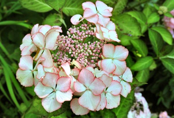 "Hydrangea macrophylla ""Love You Kiss"""
