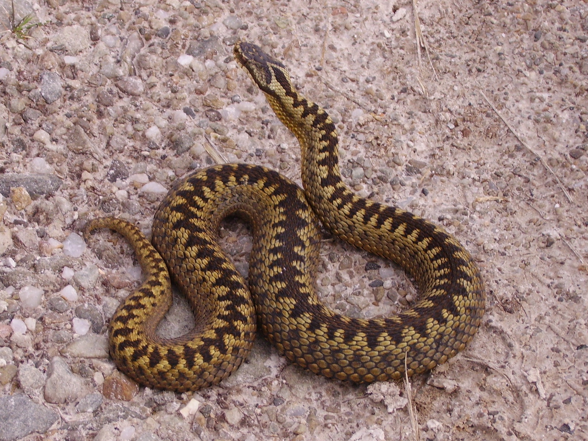 LEAVE ALONE: Adders are Britain's only native venomous snake and should never be picked up