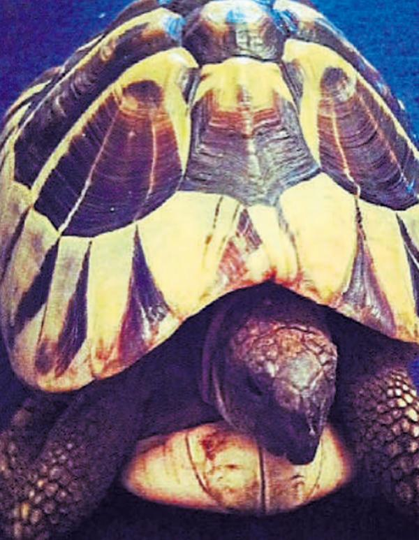 SHELL SHOCK: The tortoise which is believed to have been stolen from a family's garden in York