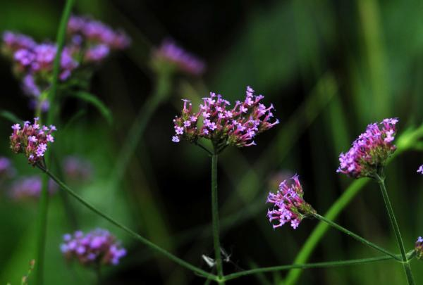Verbena bonariensis, seen on the right with the switch grass, Panicum virgatum 'Heavy Metal'